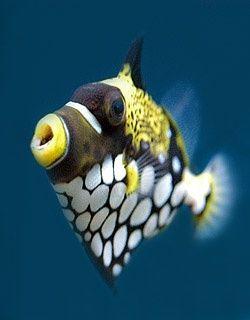Clown Trigger Fish Criaturas Marinhas Animais Marinhos Tipos