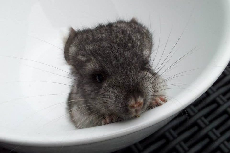 Consider, that porn Chinchilla agree