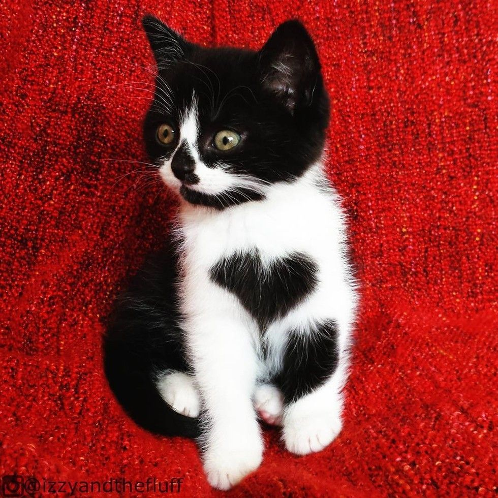 This Beautiful Tuxedo Cat Shows Her Human Love Every Day By Wearing Her Heart On Her Chest Meet Zoe The Cat Courtes Pretty Cats Cute Cats Cute Cats And Kittens