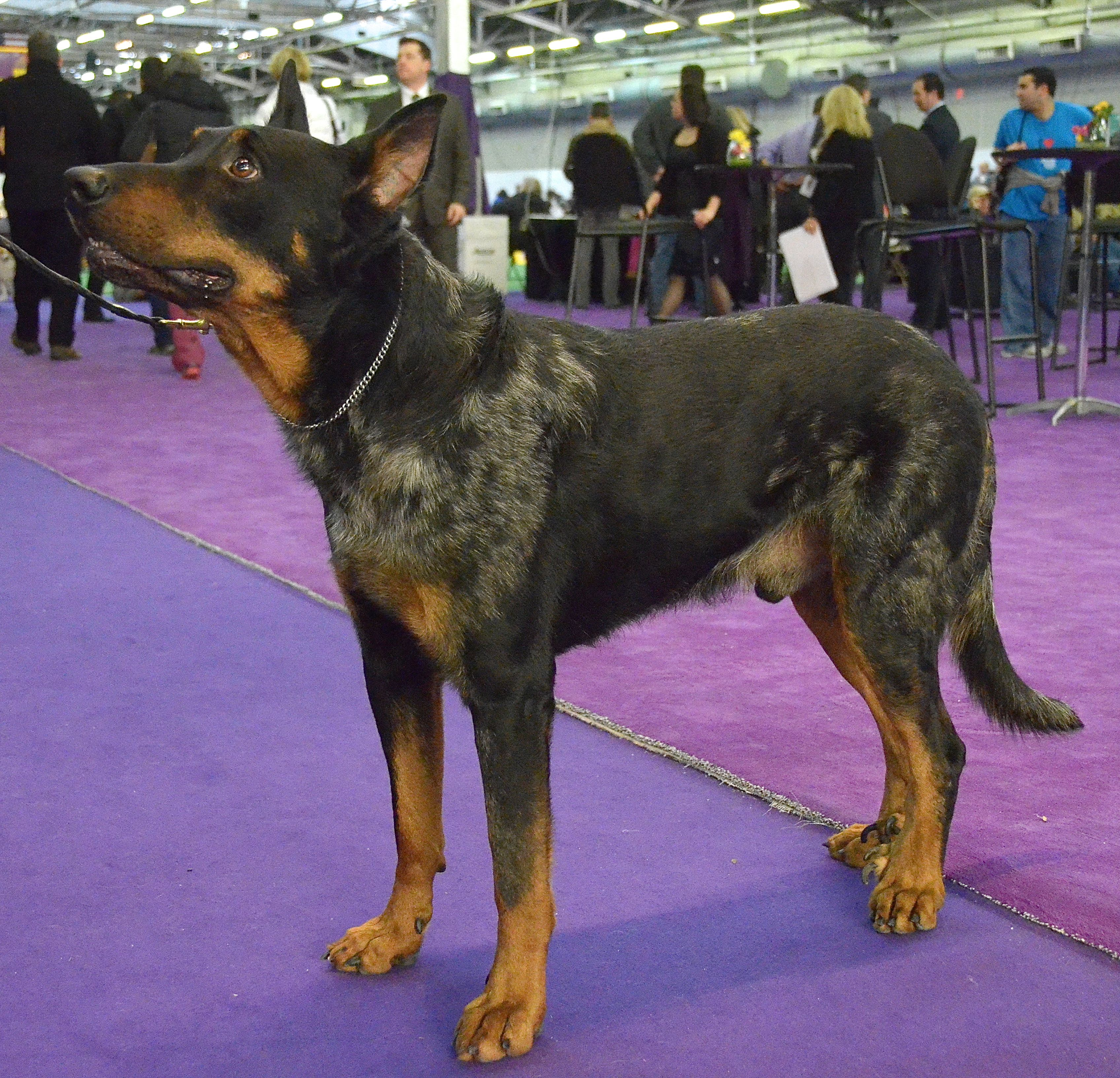 Beauceron Westminster Kennel Club Dog Show 02 10 14