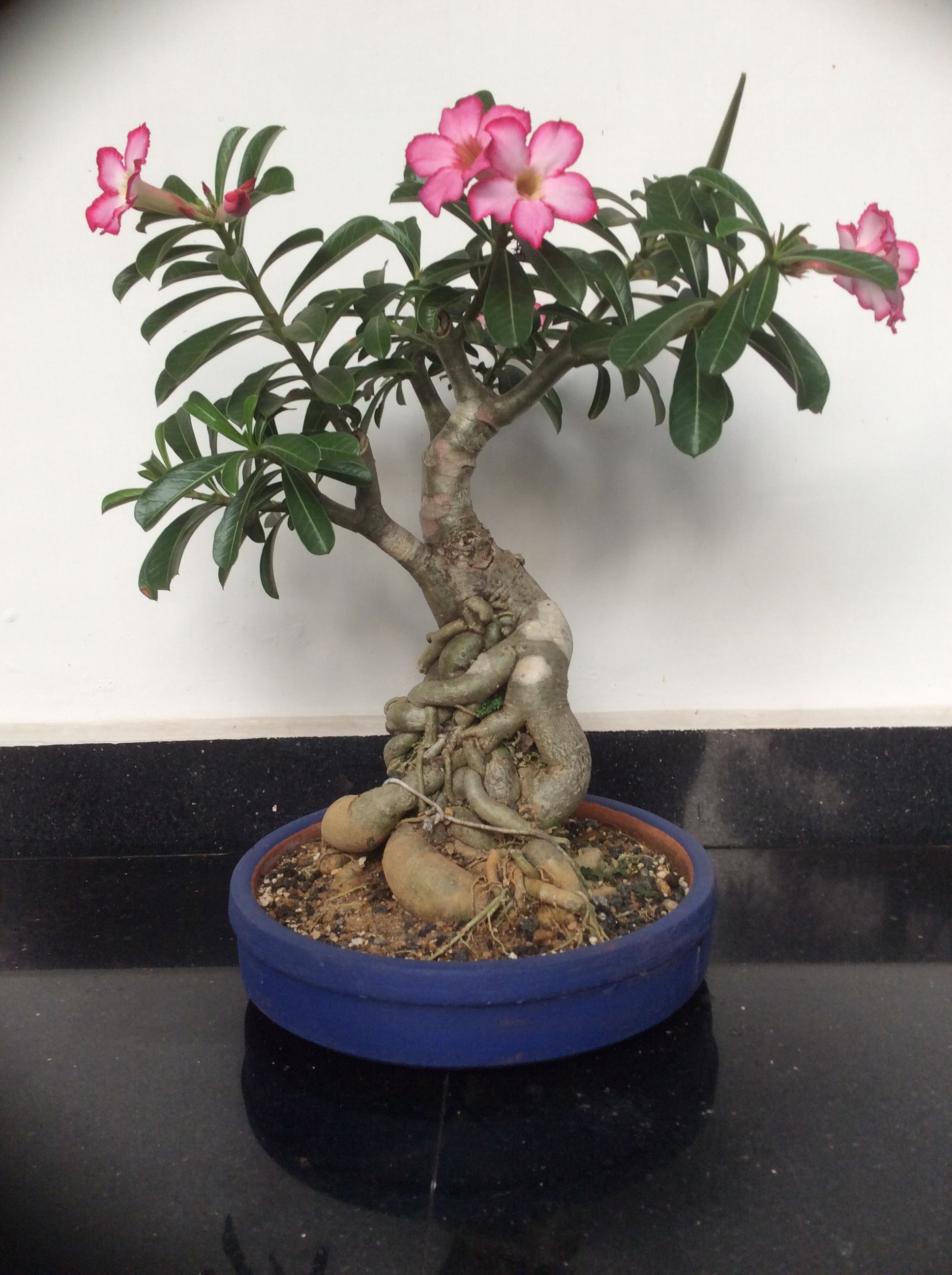 Adenium Bonsai  Pink