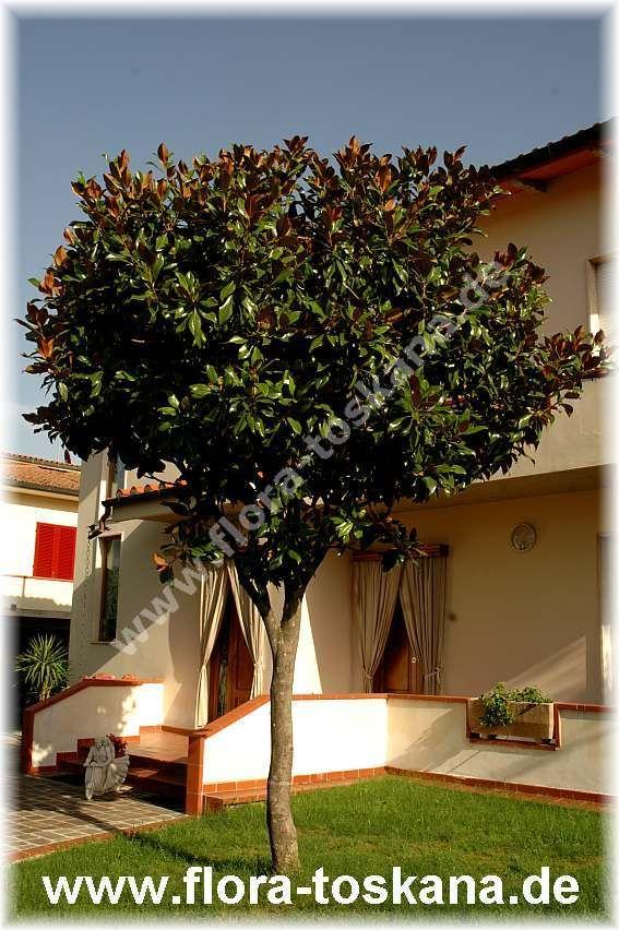 Bildergebnis für magnolie hochstamm immergrün Garten Pinterest - gartenpflanzen winterhart immergrun