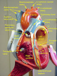 Image Result For Fetal Circulation Heart Model Labeled Anatomy Models Labeled Anatomy And Physiology Circulatory System