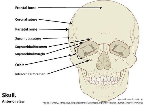 Axial Skeleton Visual Guide Axial Skeleton