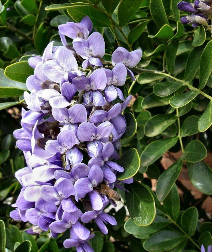 Sophora secundiflora Texas Mountain Laurel- 10 Texas Sized Seeds! Easy to grow