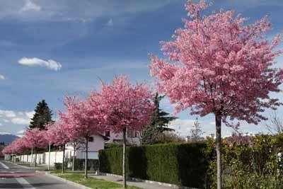 Okame Cherry Tree Landscape Trees Landscape Design Landscape
