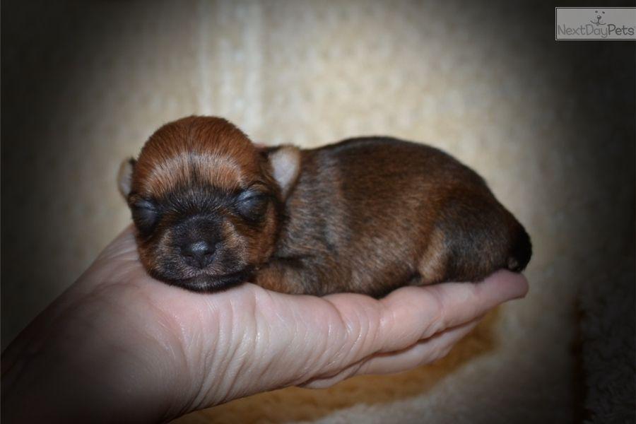 Morkie / Yorktese puppy for sale near Central Louisiana, Louisiana   4cee4d36-5741