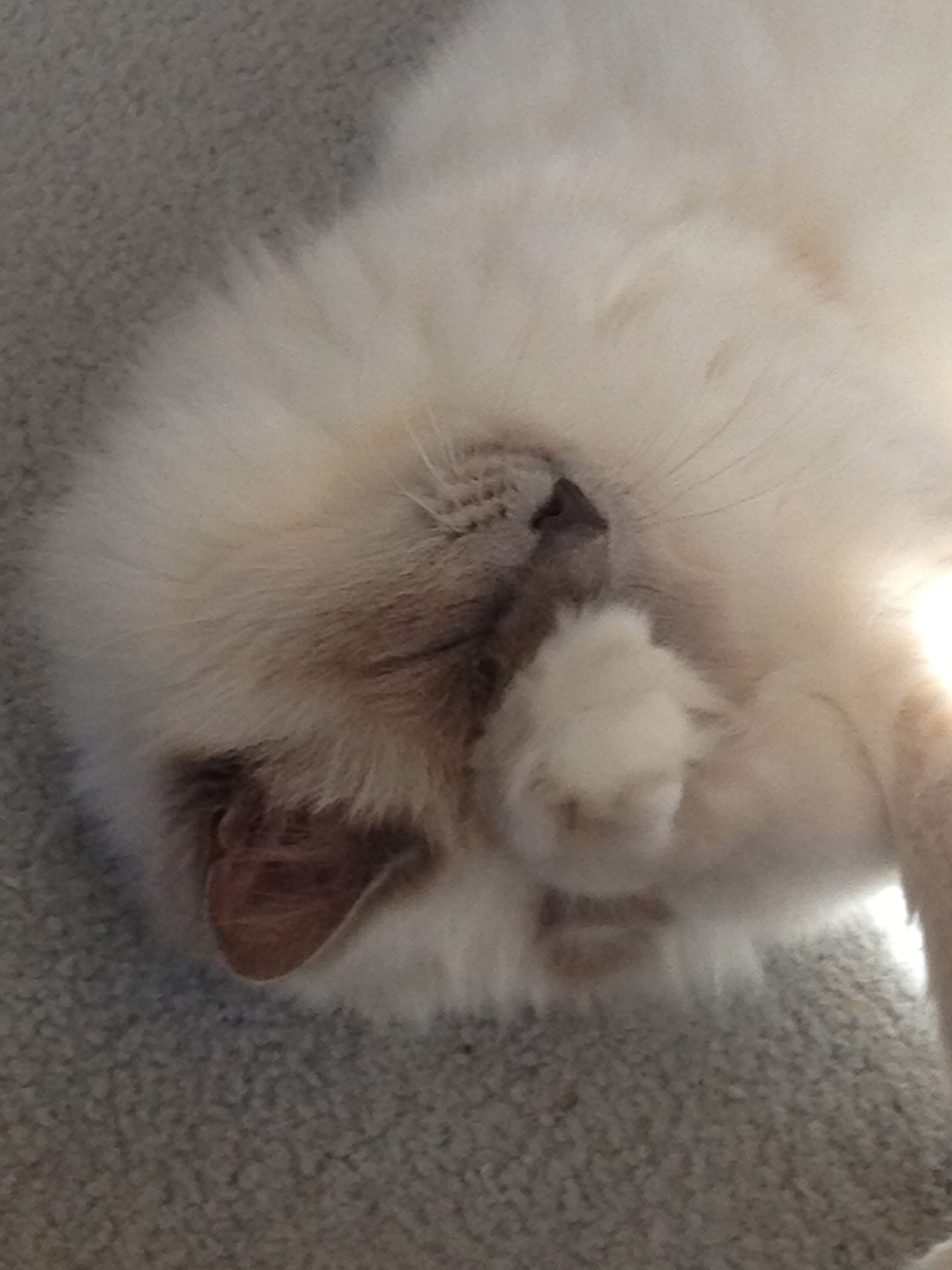 My Gorgeous Birman Cat Birman Cat Cats Cat Lifespan