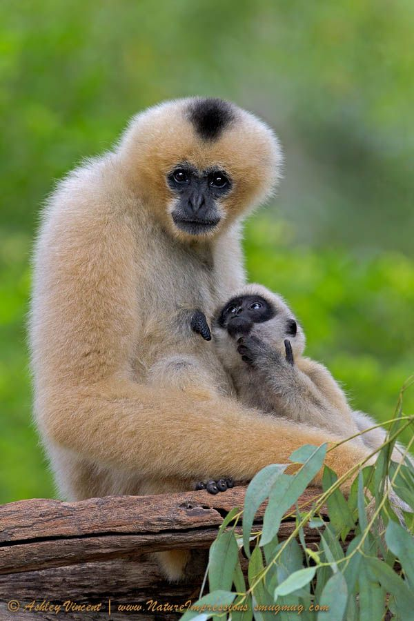 southeast asian endangered species Description: once plentiful in southeast asia, many gibbon species are currently endangered, including the lar gibbon even though the threat caused by deforestation is on the decline, these animals are still over-hunted for their meat.