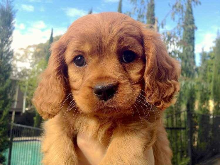Adorable Cavoodle puppy for sale, to read more go to www