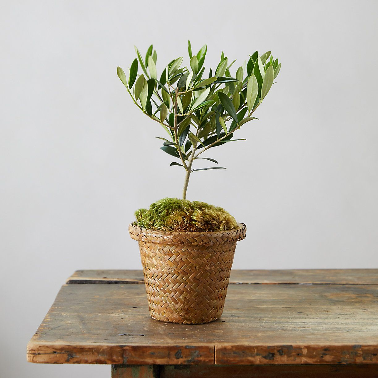 Olive Tree, Woven Grass Pot Woven grass, Potted olive