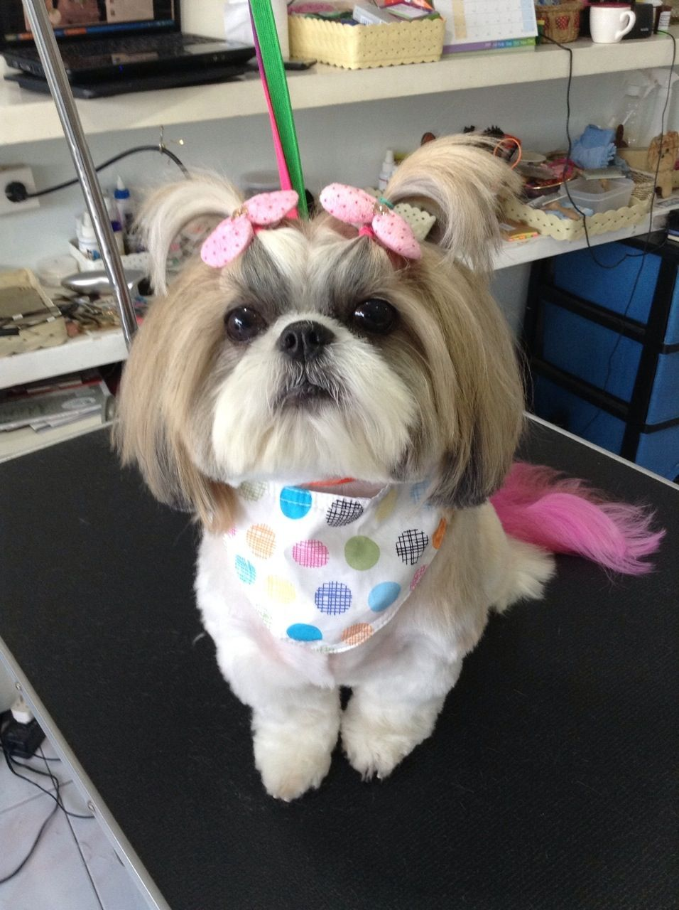 Dress Up From Salon Shih Tzu Dog Pet Fashion Shih Tzu Clothes