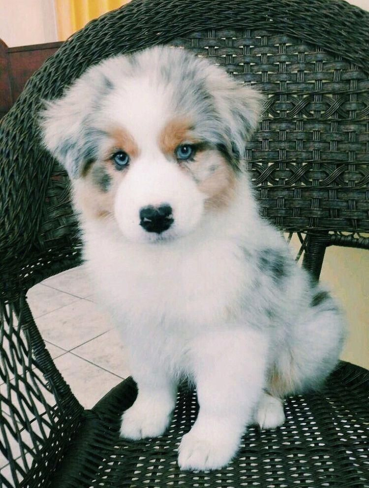 Australian Shepherd #cutepuppies