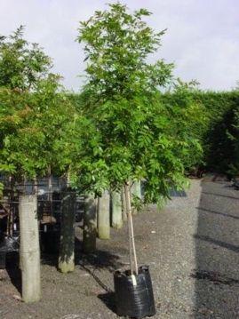 Titoki - 45 litre | Evergreen garden, Native garden, Small ...