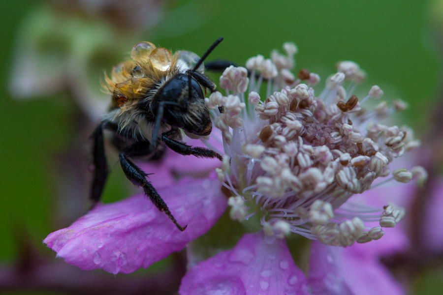 Wet bee after the rain