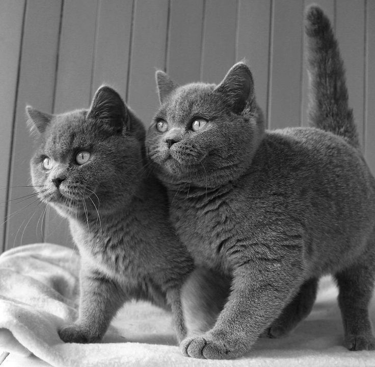 British Shorthair Cats Catssky Gray And Gray And White Cats