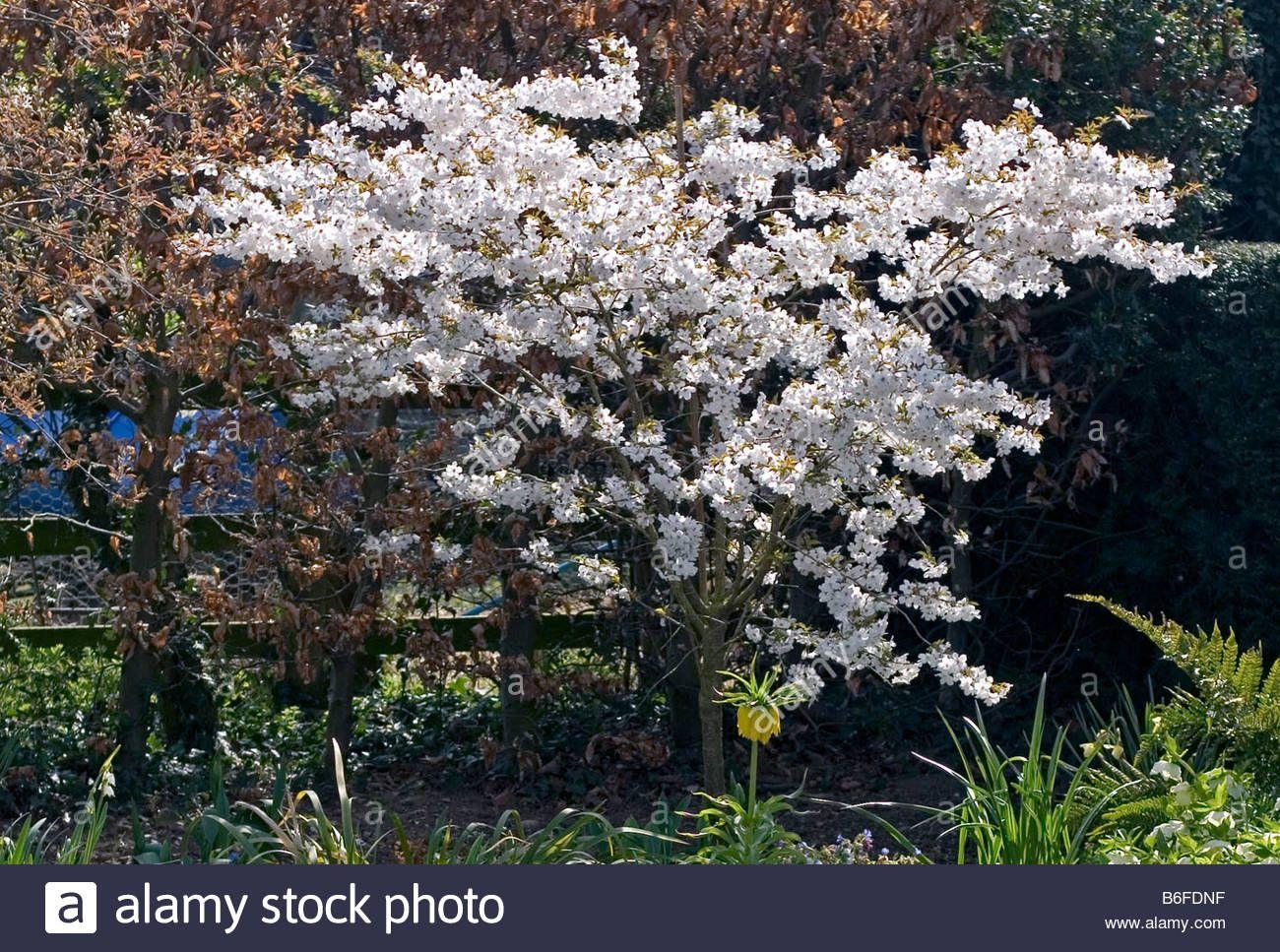 Image Result For Prunus The Bride Tree Garden Trees Prunus Bride