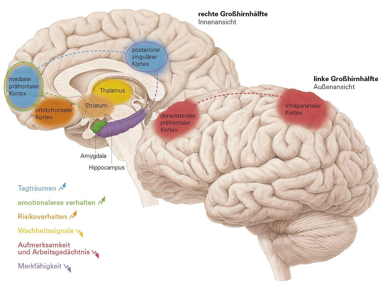 Müdigkeit: Risiko Schlafmangel | Schlafmangel, das Gehirn und Gehirn