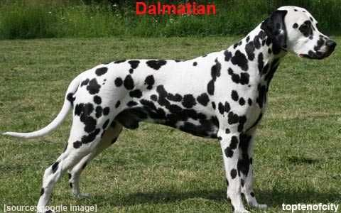 #10 - DALMATION - This breed is distinguished by intelligence and perfect memory, independence and survival instincts. Sometimes Dalmatians can be aggressive towards people otherwise they are very protective dogs. A medium sized dog which can reach 70lbs at its upper spectrum, the Dalmatian was bred in Yugoslavia to accompany and guard carriages. It acquired its reputation as a firehouse dog in its earliest days, when firemen used wagons.