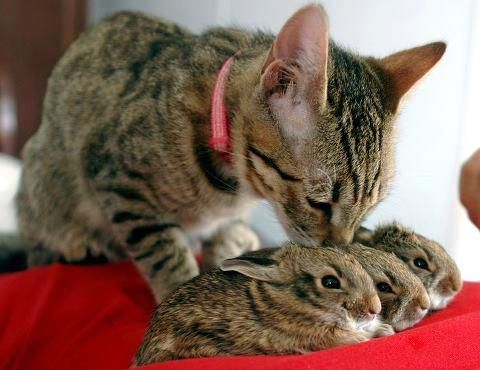 This mumma kitty adopted these wee bunnies