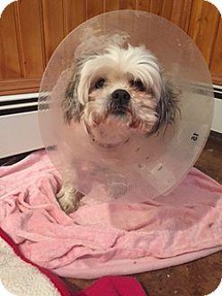 Shih Tzu Dog For Adoption In N Babylon New York Paris Dog