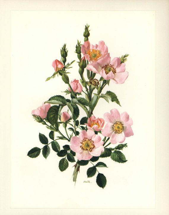 Pink Shabby Chic Decor Wild Rose Print By Paragonvintageprints 8 00 Flower Illustration Flower Drawing Wild Rose Tattoo
