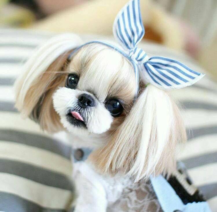 Pin De Addison Manion En Luv Shitzu Perros Perros Y Gatos Tiernos Perros Bonitos