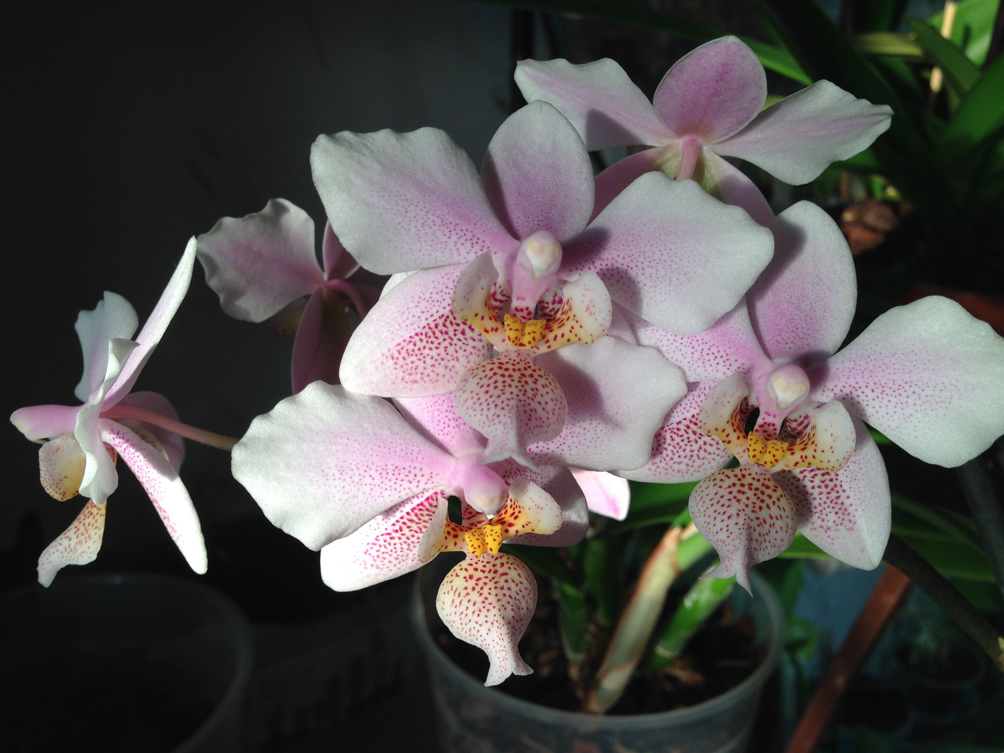 propagation of phalaenopnis orchids with cytokinin Successfully propagating orchids the simplest method is vegetative propagation using parts of a growing plant with this method, the offspring will be exact replicas of the parent plant.