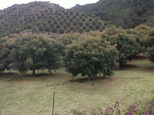 Pin En Cultivos De Aguacate En Colombia