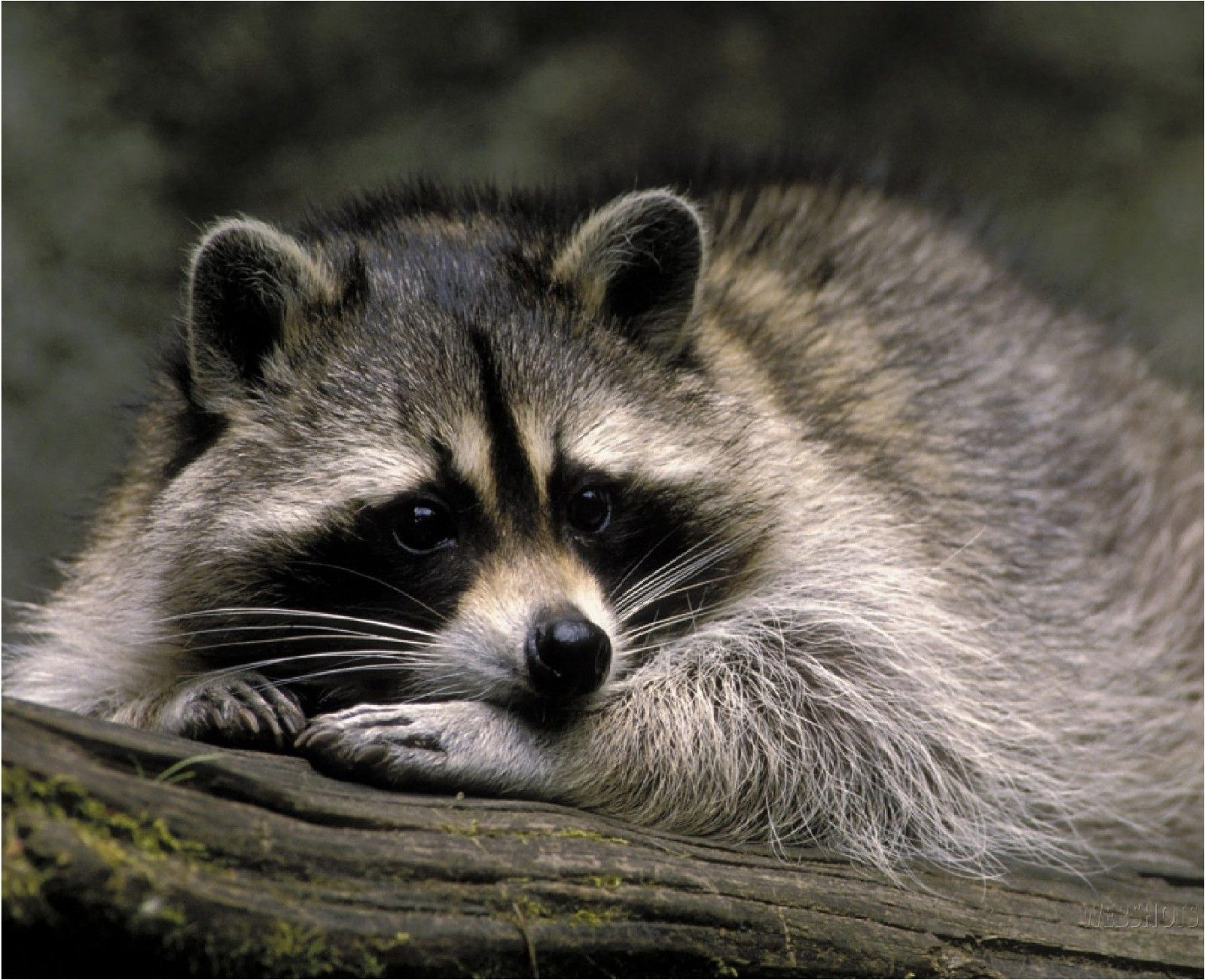 Resting Raccoon Image 2 Computer Mouse Pad 9 X 7 Animals Pet Raccoon Animals Beautiful