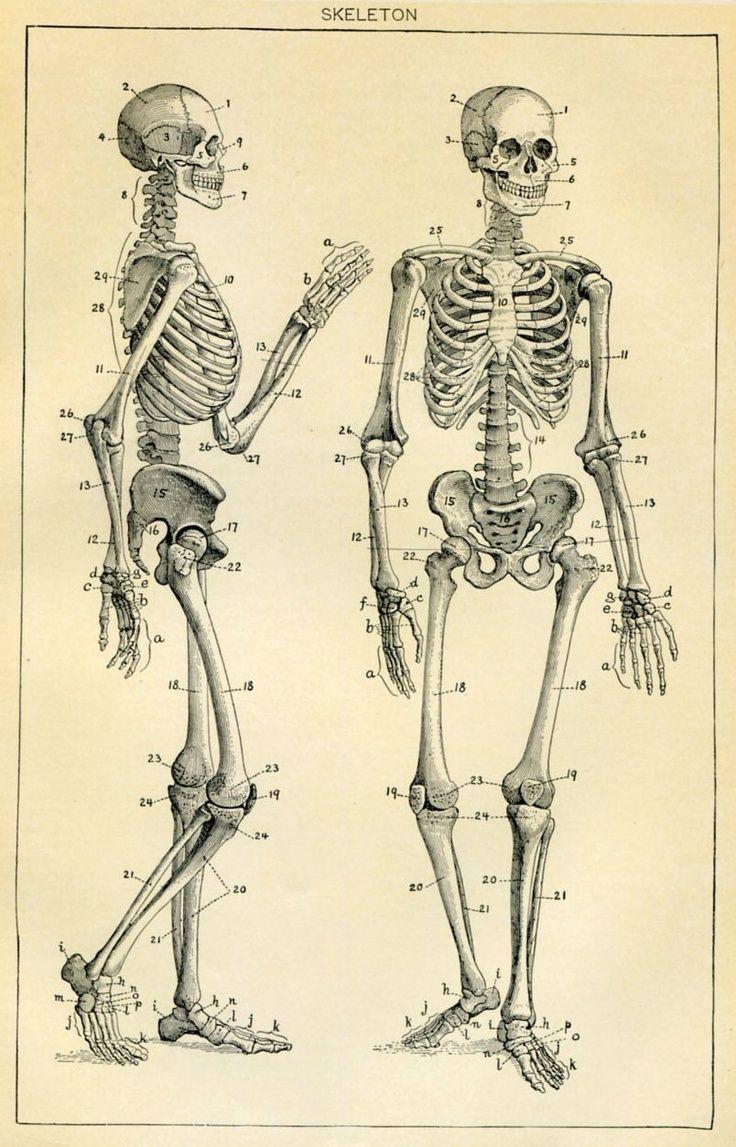 hight resolution of skeleton diagram