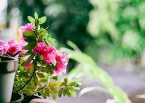 Flores de muchos colores para alegrar nuestros balcones y dar vida a nuestras terrazas.
