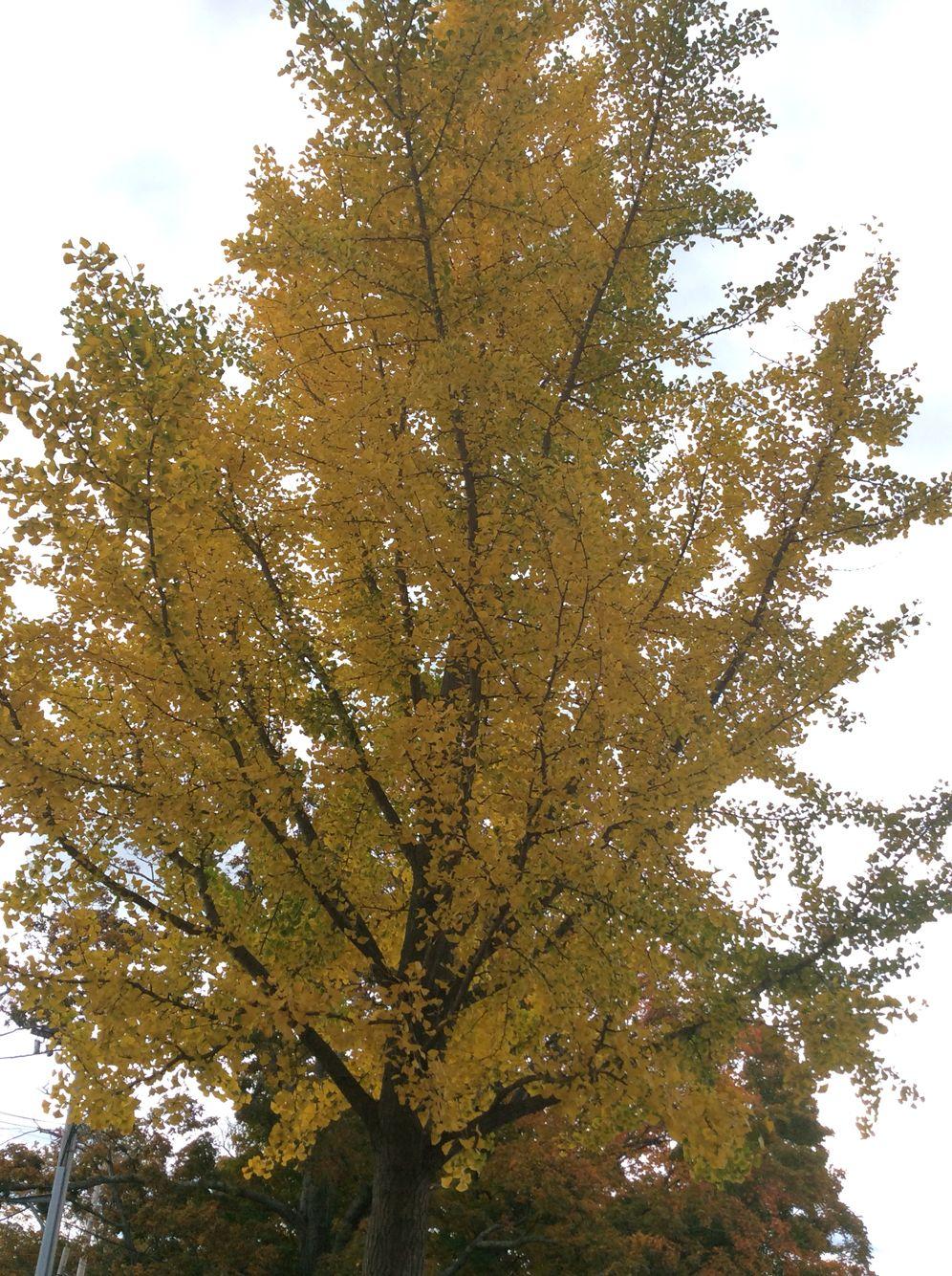 Mature height gingko tree