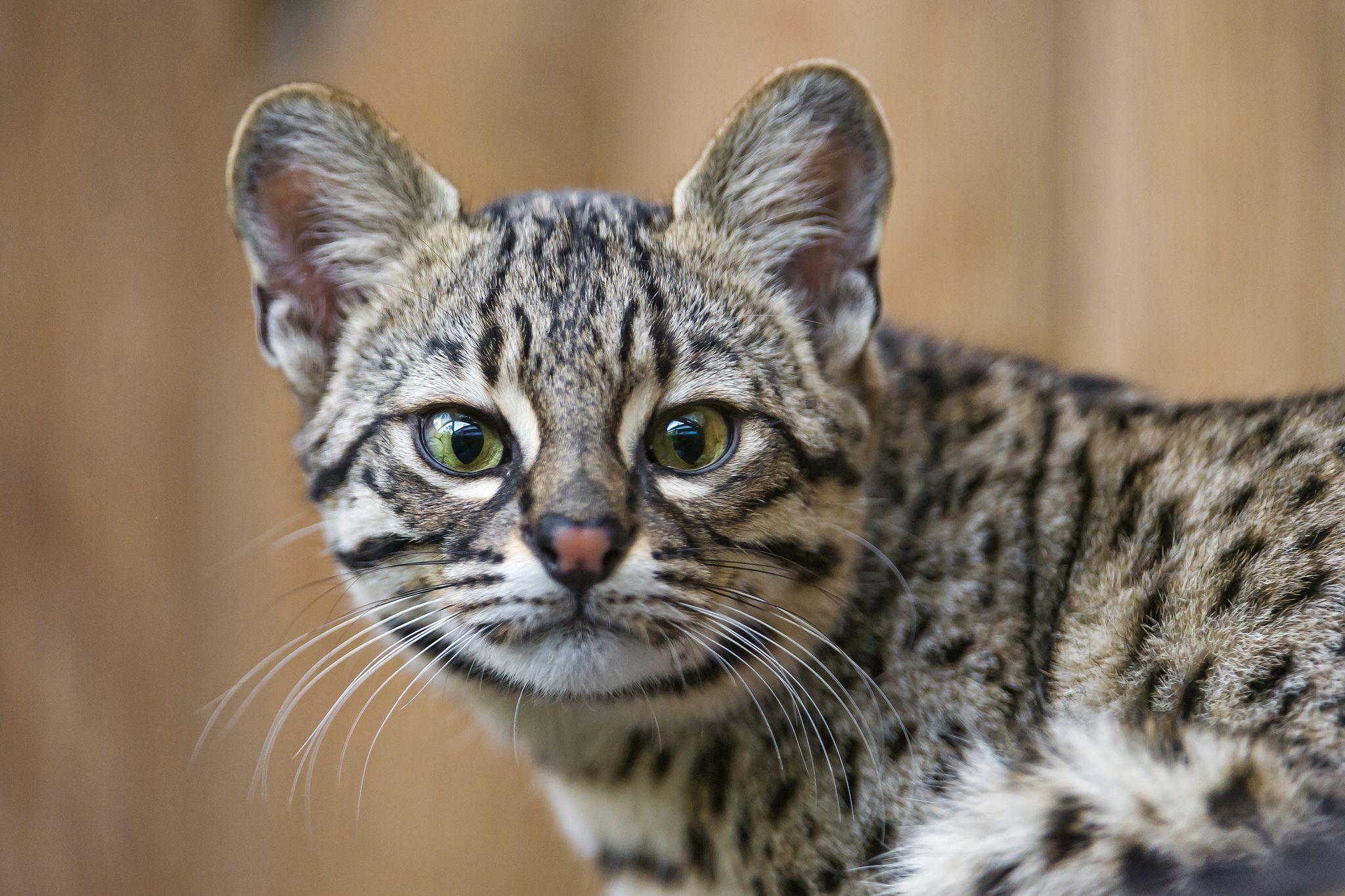 Portrait of a Geoffroys cat (con imágenes) Fotografía