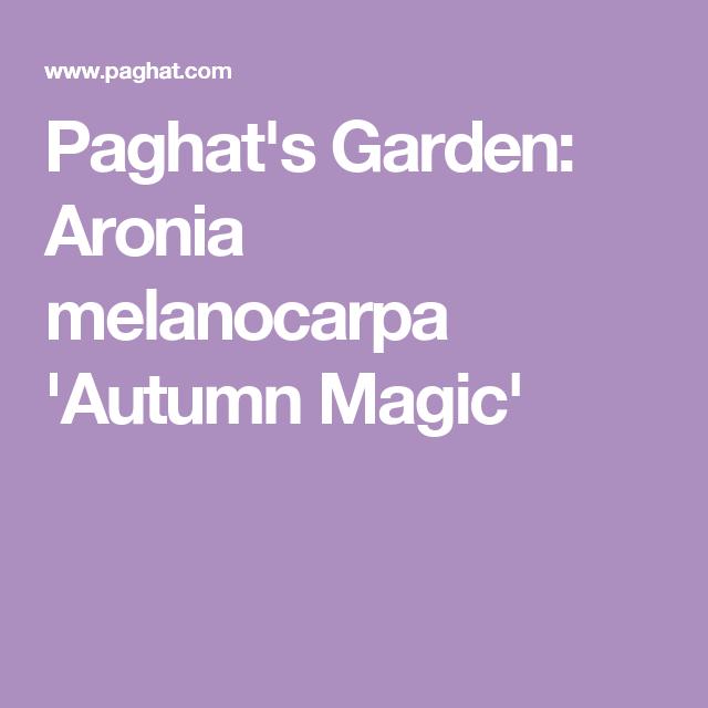 Paghat's Garden: Aronia melanocarpa 'Autumn Magic'