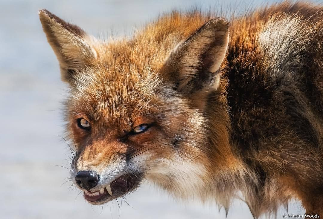 Woman On Facebook Says She Rescued An Angry Dog But Followers Tell Her That It Is Not A Wild Dogs Angry Animals Pet Fox