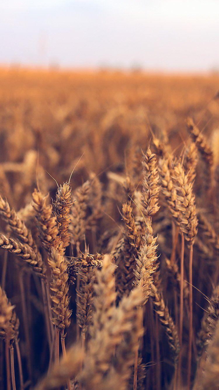 nk31-nature-reed-field-flower-fall-blue #falliphonewallpaper