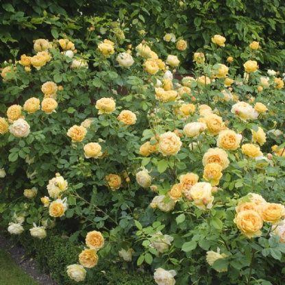 golden celebration david austin roses garden love. Black Bedroom Furniture Sets. Home Design Ideas