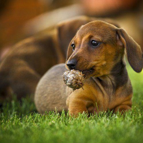 Dachshund pup