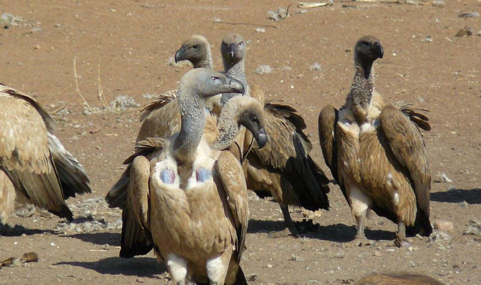 Vultures at Shelanti Game Reserve, Limpopo, South Africa