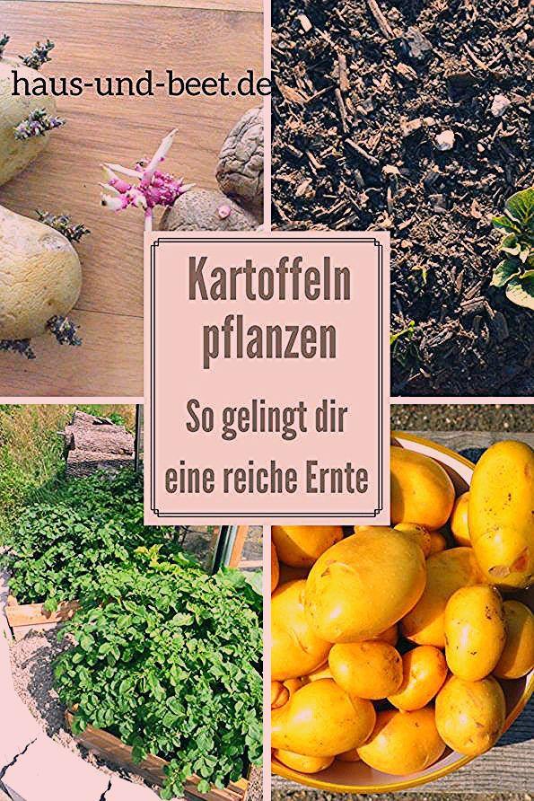 Photo of Kartoffeln pflanzen – So gelingt dir eine reiche Ernte – Haus und Beet