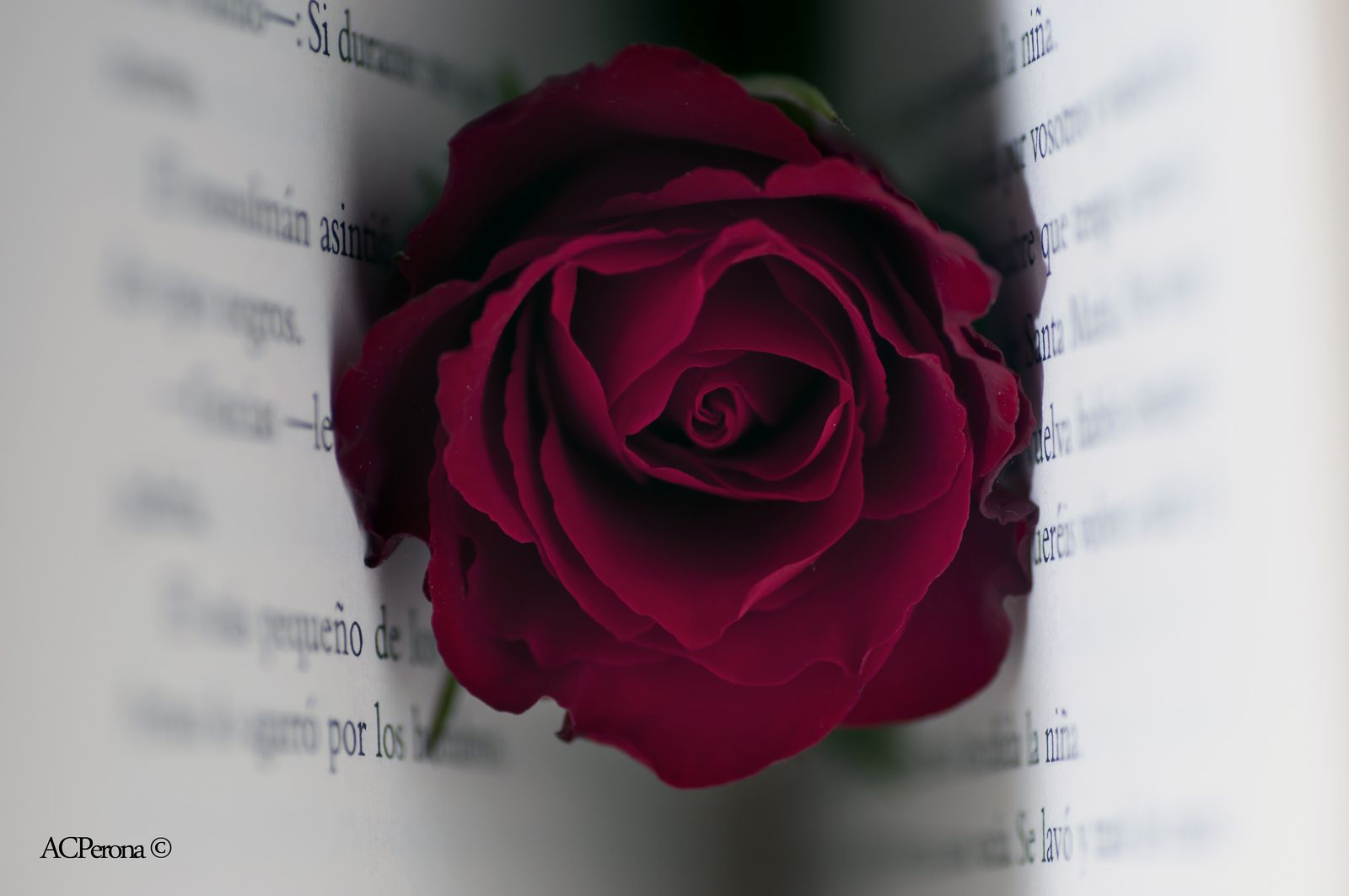 World Book Day Red Roses Rose Flowers Black Background