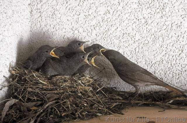 Vogel Rotschwänzchen Gartenrotschwanz Phoenicurus phoenicurus Muttertier, Küken Jungtier fütternd Nest Tier