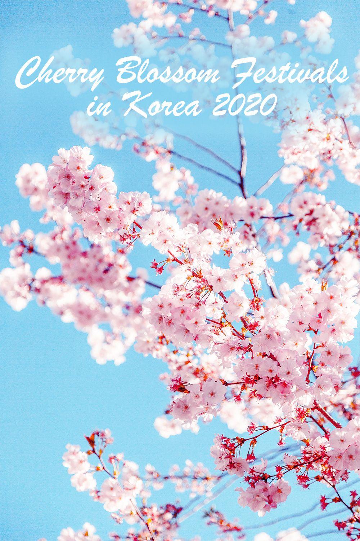 Cherry Blossoms Korea 2021 A Forecast Guide Where To Go Korea Travel Korea Wallpaper South Korea Travel
