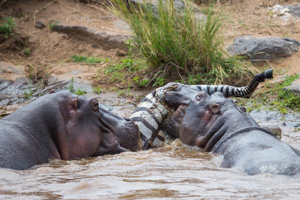 этого картинка бегемот ест крокодила еще
