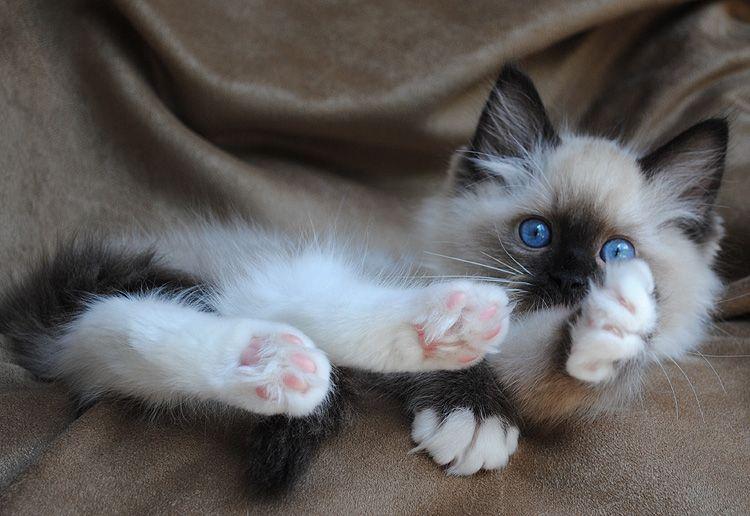Ragdoll Cats Photo Gallery Bluegem Ragdolls Ragdoll Breeder Ohio Ragdoll Cat Breeders Cats Ragdoll Kittens For Sale