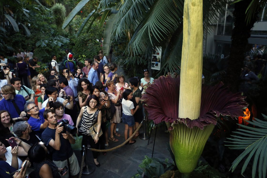 The Big Stink D C S Corpse Flower Put On A Show Corpse Flower Forest Plants Flowers