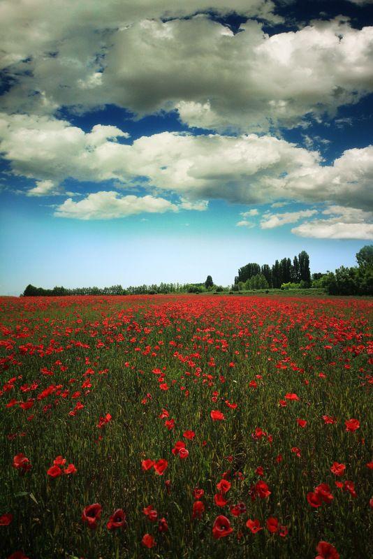 Poppy field in Italy