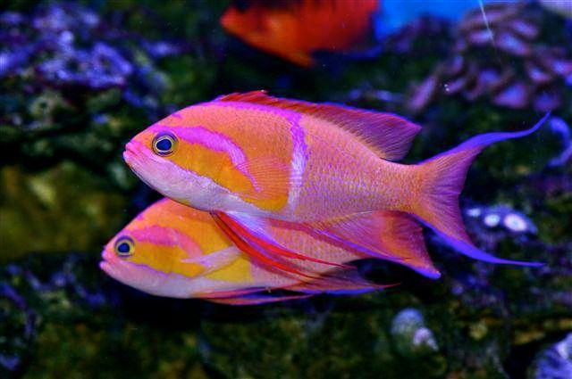 White Bar Anthias Reef Safe Fish Marine Fish Saltwater Aquarium Fish