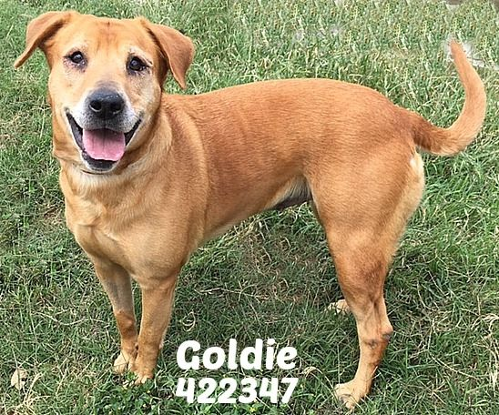 Golden Labrador dog for Adoption in San Antonio, TX. ADN